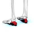Calcaneus04 posterolateral view.png