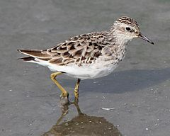 Calidris subminuta walking.JPG