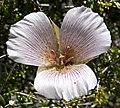 Calochortus striatus 3.jpg