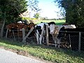 Calves patiently waiting for the farmer's visit with their next meal - geograph.org.uk - 601323.jpg