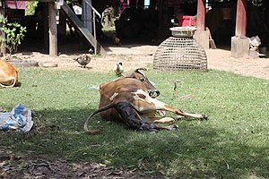 Calving in Laos (5 of 9).jpg