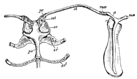 Cambridge Natural History Mammalia Fig 029.png