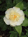 Camellia × williamsii 'Jury's Yellow' 01.JPG