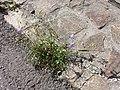 Campanula rotundifolia sl21.jpg