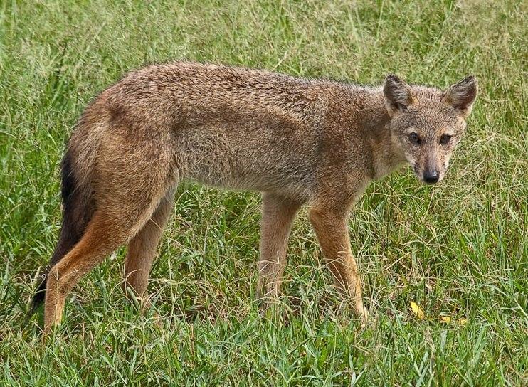 Canis adustus Kidepo National Park