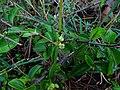 Canthium coromandelicum111.jpg