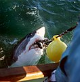 Cape Agulhas white shark JF3.jpg