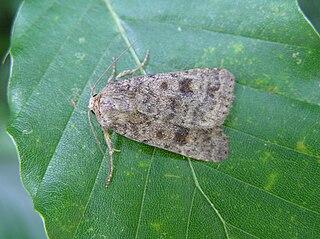 <i>Caradrina morpheus</i> Species of moth