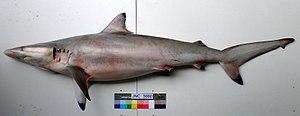 Spinner shark - Image: Carcharhinus brevipinna JNC3080 Body