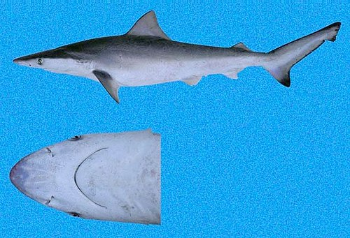 500px Carcharhinus cerdale SI