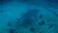 Carcharhinus leucas palm beach.jpg