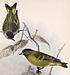 Carduelis atriceps 1902.jpg