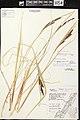 Carex aquatilis herbarium (05).jpg