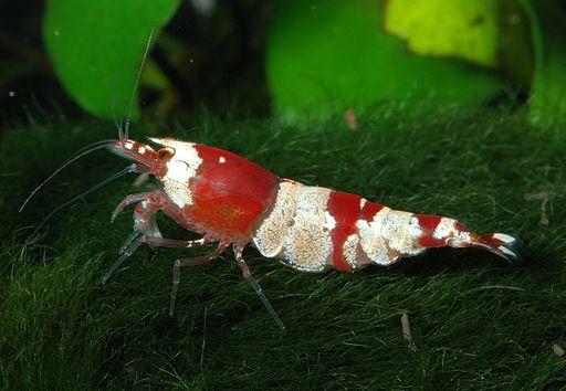 Caridina-cf-cantonensis-red-bee