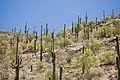 Carnegiea gigantea Saguaro NP 1.jpg