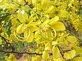 Cassia fistula flowers 5.jpg