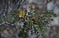 Cassia lineata. Old salina edge. Inagua (38870392831).jpg
