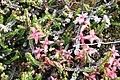Cassiope tetragona IMG 3989 kantlyng longyearbyen.JPG