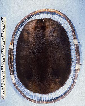 Beaver Wars - Beaver pelt