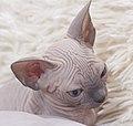 Cat - Sphynx. img 053.jpg