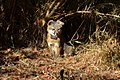 Catalina Island Fox (Urocyon littoralis catalinae) sitting in sunlight.jpg