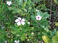 Catharanthus roseus-1-yercaud-salem-India.JPG
