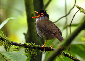 Catharus mexicanus -Costa Rica-8.jpg