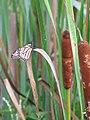 Cattail Butterfly (3829713459).jpg