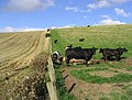 Cattle on Palace Hill - geograph.org.uk - 1043109.jpg