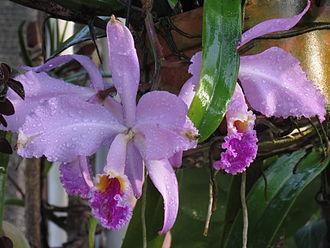 Cattleya mossiae - Image: Cattleya mossiae (dew in Venezuela)