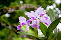 Cattleya trianae, Flor Nacional de Colombia.jpg