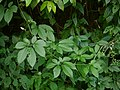 Cayratia pedata (Lam.) A. Juss. ex Gagnep. (31079031825).jpg