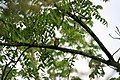 Cedar Waxwing - panoramio.jpg