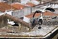 Cegonha Branca ( Ciconia ciconia ) 14 (48309194887).jpg