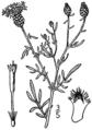Centaurea stoebe ssp micranthos BB-1913.png