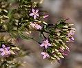 Centaurium erythraea in Jardin botanique de la Charme.jpg