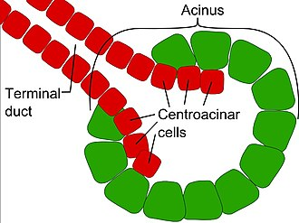 Exocrine gland - An acinus is a round cluster of exocrine cells connected to a duct.