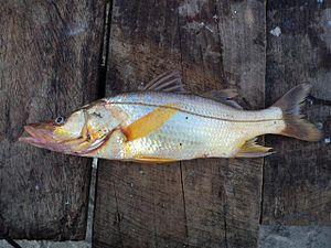 Centropomus parallelus - A specimen in Honduras
