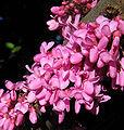 Cercis Siliquastrum blossom closeup.jpg