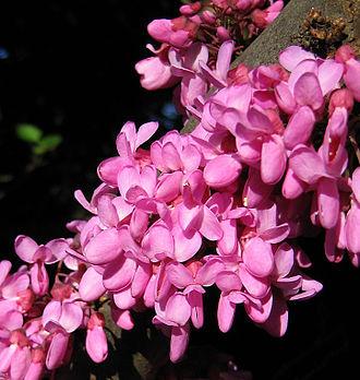Cercis - Image: Cercis Siliquastrum blossom closeup