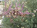 Cercis siliquastrum6.jpg