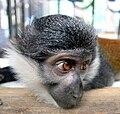Cercopithecus lhoesti (L'Hoest's monkey - Colchester Zoo, England, 2008).jpg