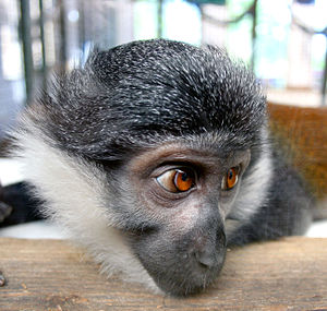 L'Hoest's monkey - Colchester Zoo, England
