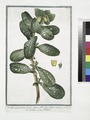 Cerinthe quorundam major, spinoso folio, flavo flore - Cerinte - Melinet. (Great Honeywort) (NYPL b14444147-1124940).tiff