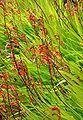 Chasmanthe floribunda 2.jpg