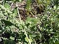 Chenopodium vulvaria inflorescence (20).jpg