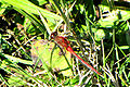 Cherry-faced Meadowhawk.jpg