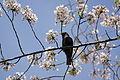 Cherry Blossom DC 2014 (14077829616).jpg