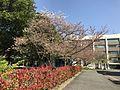 Cherry Blossoms in Hakozaki Campus of Kyushu University 20170414-2.jpg