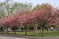 Cherry blossom (Noushi Park) - 農試公園の桜 - panoramio.jpg